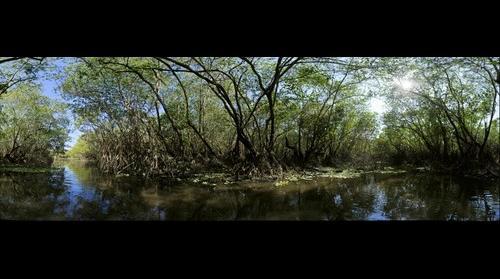 Mayan ethnobotany, waterlily Nymphaea ampla mangrove swamp eco-system, Monterrico, Guatemala