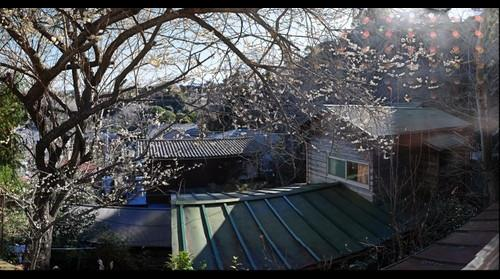 Plum (Ume) tree outside my window