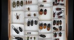 Drawer for stereoscopic panorama: center image (Lucanidae: stag beetles)