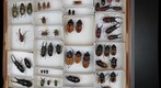 Drawer for stereoscopic panorama: left image (Lucanidae: stag beetles)