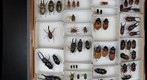 Drawer for stereoscopic panorama: right image (Lucanidae: stag beetles)