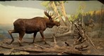 Bell Museum: Moose Diorama