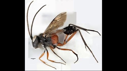 Microphotograph of an ensign wasp (Evaniidae - Acanthinevania)