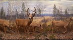 Bell Museum: White-Tailed Deer