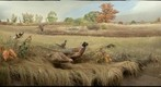 Bell Museum: Ring-Necked Pheasants
