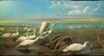 Bell Museum: Tundra Swans