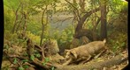Bell Museum: Bobcat