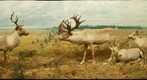 Bell Museum: Caribou