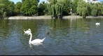 Swans at Urbanhafen, Berlin
