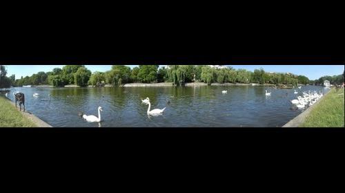Swans at Urbanhafen, Berlin