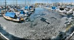 California Fish Die-off - Redondo Beach Marina 3-8-2011