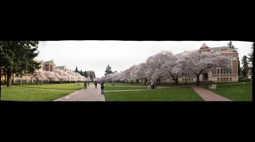 Cherry Trees at University of Washington