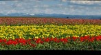 Wooden Shoe Tulip Farm, Hubbard, OR