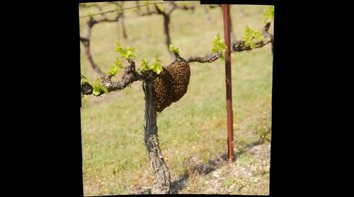 Essaim d'abeilles dans les vignes