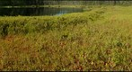 Leatherleaf Levee, Molly Bog, Vermont