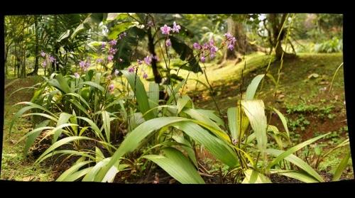 Tropical Ground Orchids