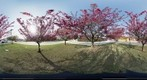 Cherry trees