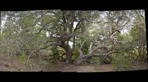 Willow on TIburon Peninsula