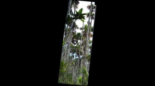 Aguajal, inundated forest, Madre de Dios, Peru