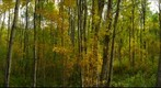 Poplar and aspen forest in autumn, Chickakoo Lake, Alberta