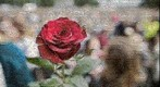 The most beautiful rose