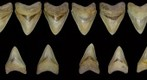 Partial Associated Megalodon Dentition