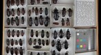 Cerambycidae 5