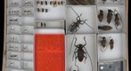 Cerambycidae 47