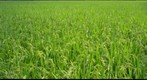 Nagamine Rice Field