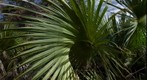 Palm Frond (smaller version)