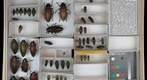 Buprestidae 9