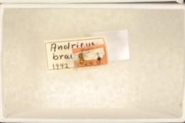 Andricus bracteatus Weld