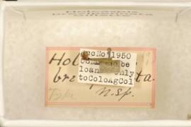 Holcaspis brevipennata Gillette