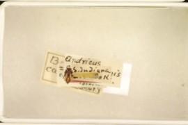 Andricus caepulaeformis Beutenmuller