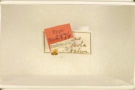 Andricus calycicola Ashmead