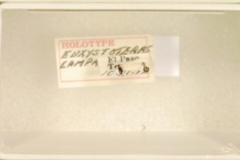 Euxystotera campanulatum Lyon