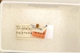 Diplolepis capronae Weld