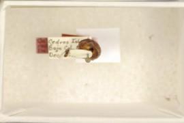 Callirhytis cedros Dailey & Sprenger