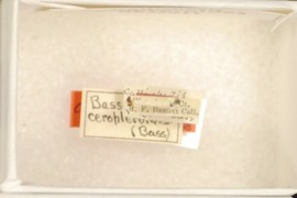 Callirhytis ceropteroides Bassett