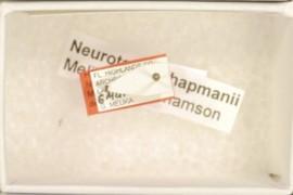 Neuroterus chapmanii Melika & Abrahamson