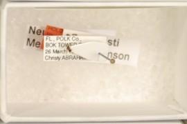 Neuroterus christi Melika & Abrahamson