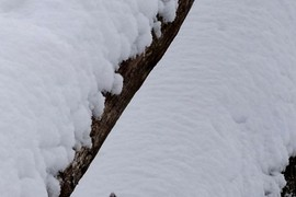 snow on tree trunks