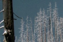 Trees killed by fire