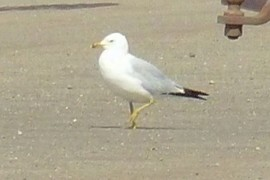 Why did the seagull cross the road?