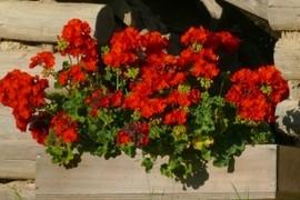 The geraniums