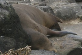 another sea lion