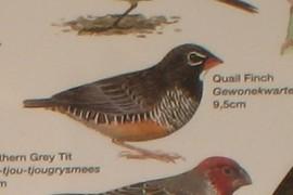 Quail Finch