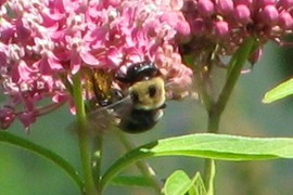 Another Carpenter bee on Milkweed