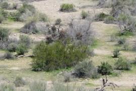 Creosote bush