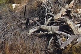 restes d'un pi cremat